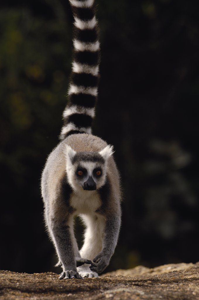Ring-tailed Lemur (Lemur catta) walking towards camera, near Andringitra Mountains, vulnerable, south central Madagascar : Stock Photo