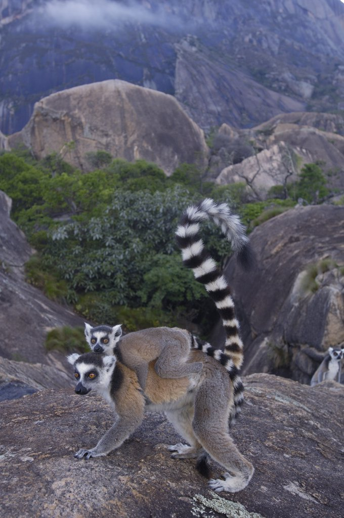 Stock Photo: 4201-34661 Ring-tailed Lemur (Lemur catta) mother and young, vulnerable, near Andringitra Mountains, south central Madagascar