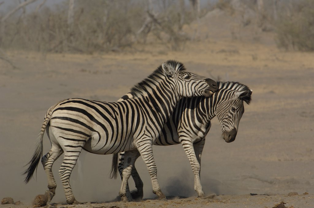Burchell's Zebra (Equus burchellii) pair playing, Africa : Stock Photo