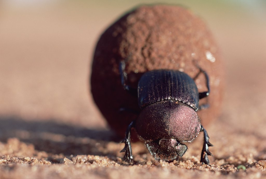 Stock Photo: 4201-3496 Dung Beetle (Scarabaeidae) rolling dung ball, Kenya