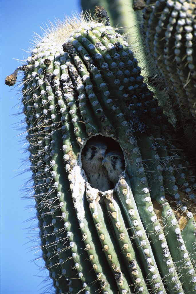 Stock Photo: 4201-35062 American Kestrel (Falco sparverius) chicks in nest in Saguaro (Carnegiea gigantea), Tucson, Arizona