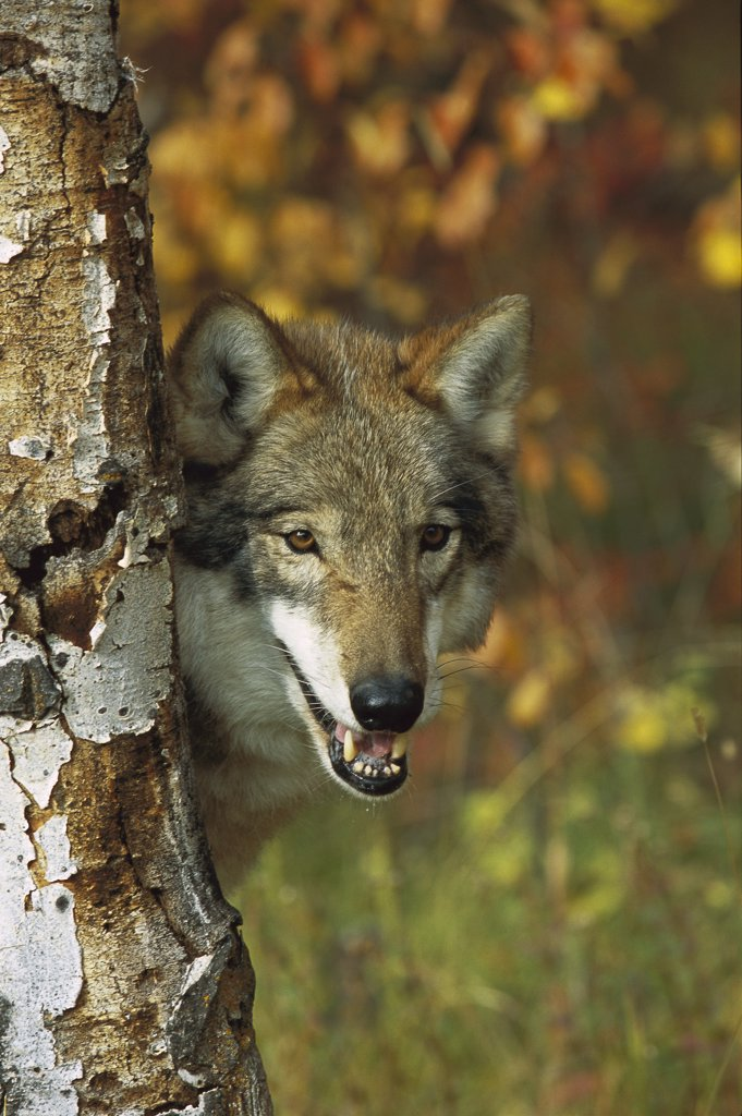 Stock Photo: 4201-35302 Timber Wolf (Canis lupus) portrait peering out from behind a tree, Teton Valley, Idaho