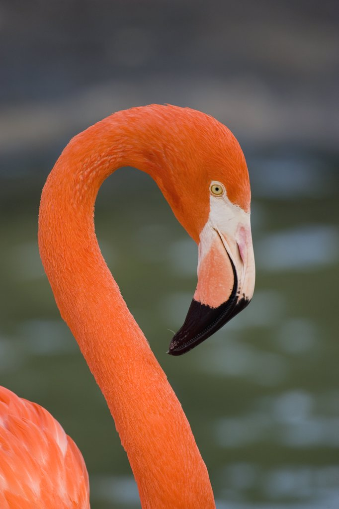 Stock Photo: 4201-35786 Greater Flamingo (Phoenicopterus ruber) portrait, San Diego Zoo, California