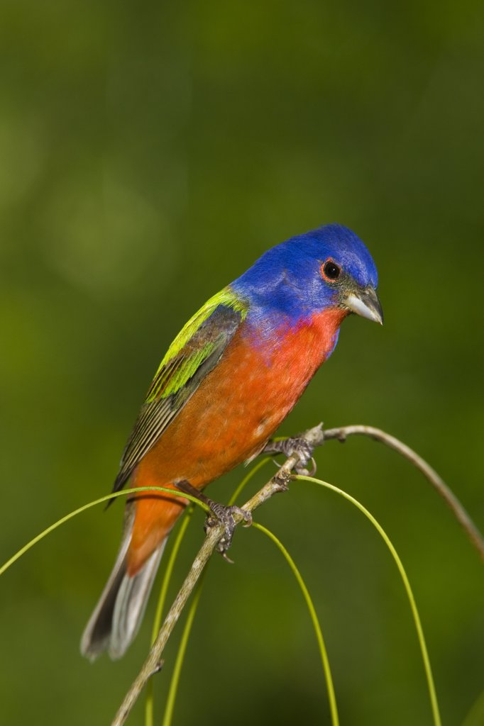 Painted Bunting (Passerina ciris) male, Rio Grande Valley, Texas : Stock Photo