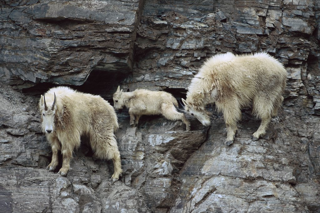 Stock Photo: 4201-36351 Mountain Goat (Oreamnos americanus) adults and kid on steep mountain cliff, one adult nudges young with horns, Rocky Mountains, North America