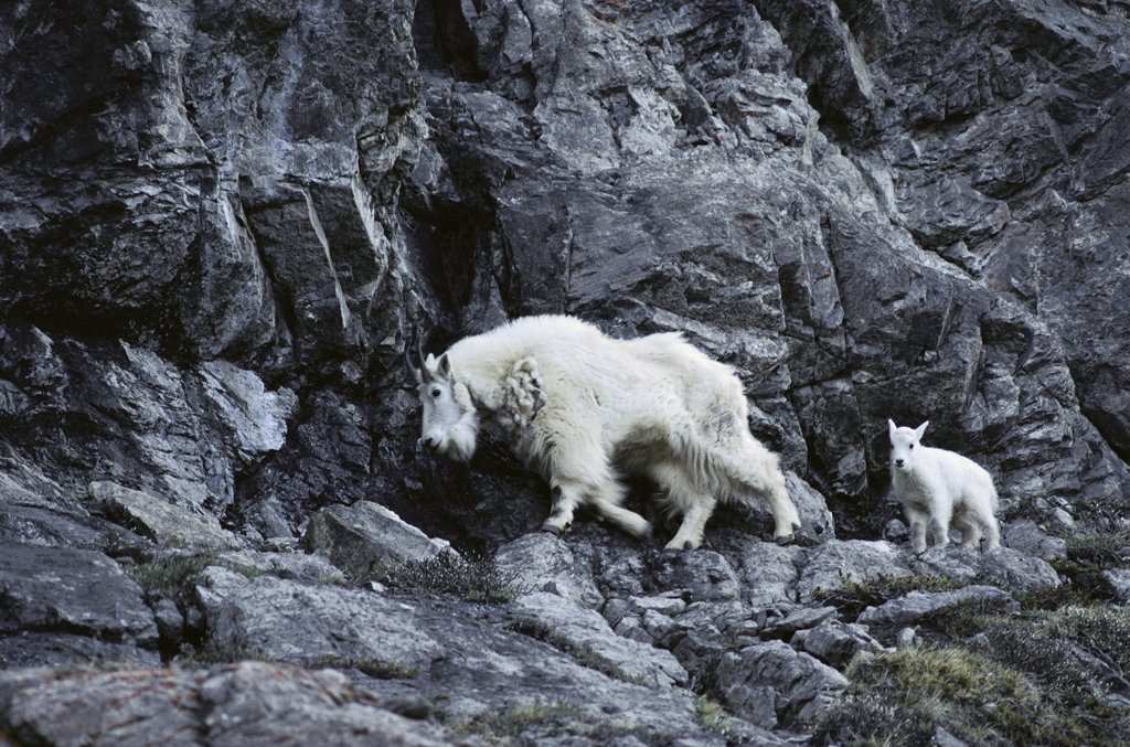 Mountain Goat (Oreamnos americanus) mother and kid on steep mountainside, Banff National Park, Rocky Mountains, Canada : Stock Photo