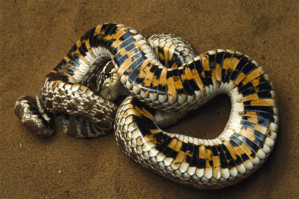 Stock Photo: 4201-36560 Hog-nosed Snake (Heterodon sp) defensive behavior, rolling on back to display warning colors on underside, native to North America