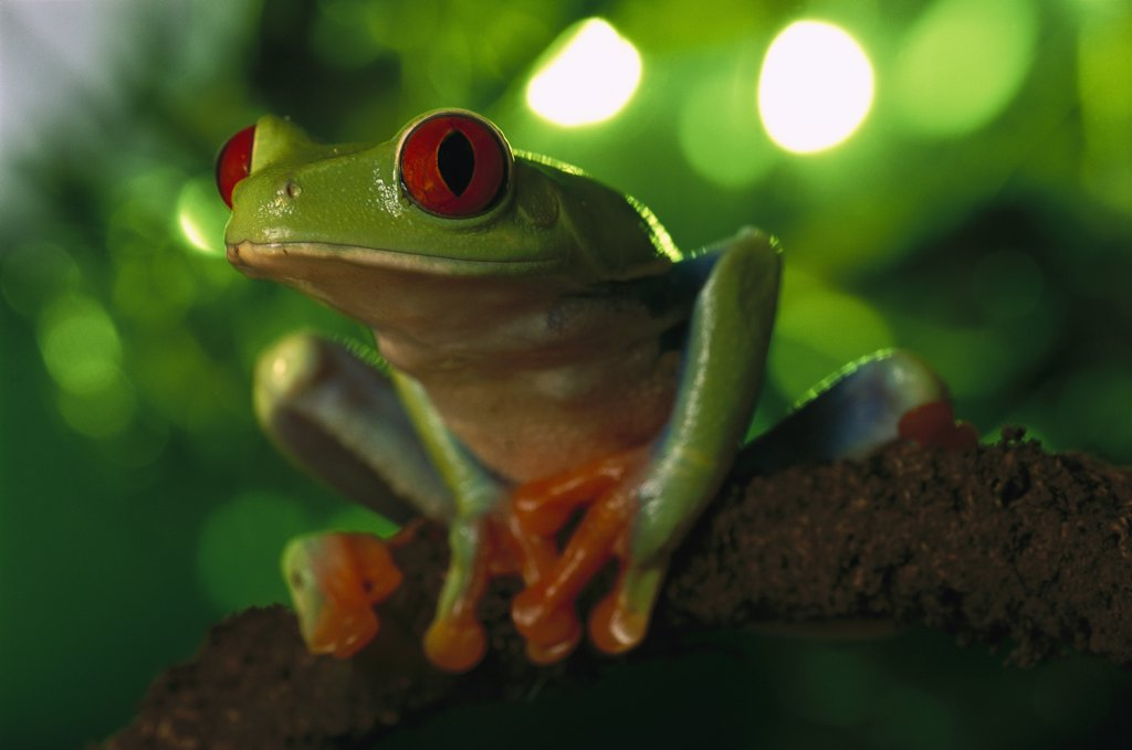 Red-eyed Tree Frog (Agalychnis callidryas) portrait sitting on a twig, native to tropical rainforests of Central America : Stock Photo