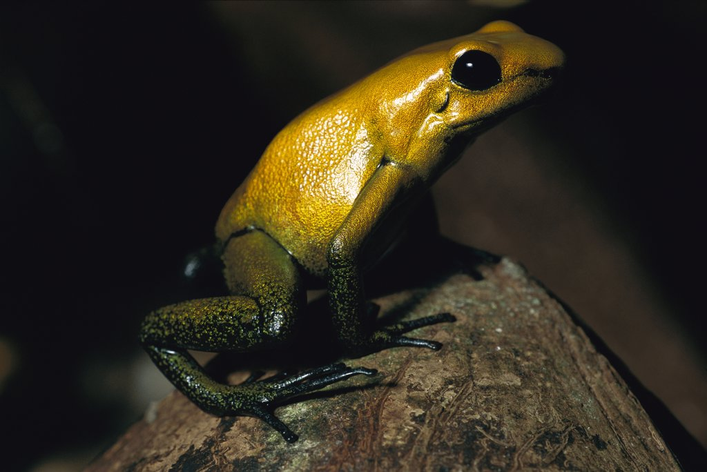 Golden Poison Dart Frog (Phyllobates terribilis) the most venomous frog, can be deadly to humans, discovered 1978 in Colombia : Stock Photo