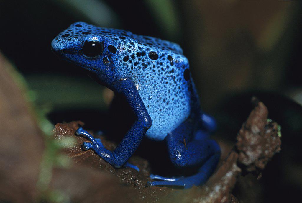 Blue Poison Dart Frog (Dendrobates azureus) very tiny venomous frog, Indian tribes use poison for arrows, native to South America : Stock Photo