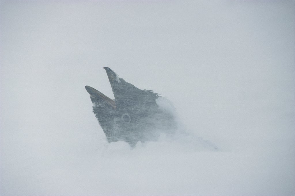 Stock Photo: 4201-37686 Adelie Penguin (Pygoscelis adeliae) in storm, Cape Royds, Ross Island, Antarctica