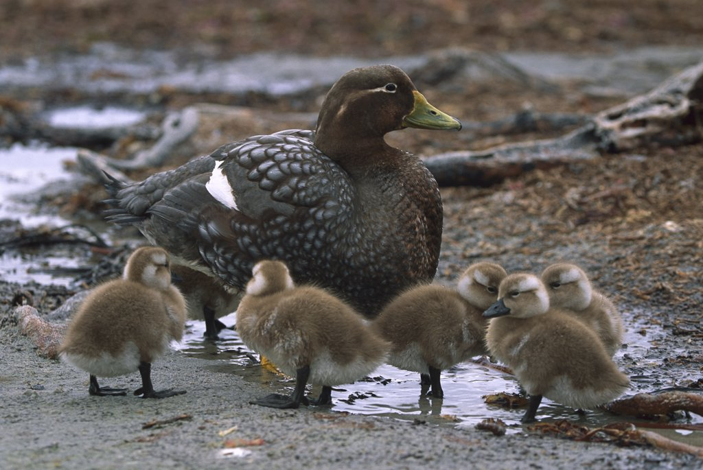 Falkland Steamerduck (Tachyeres brachypterus) mother with ducklings, Sea Lion Island, Falkland Islands : Stock Photo