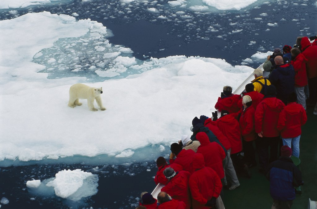 Polar Bear (Ursus maritimus) watched by tourists on eco-tourism ship, Arctic : Stock Photo