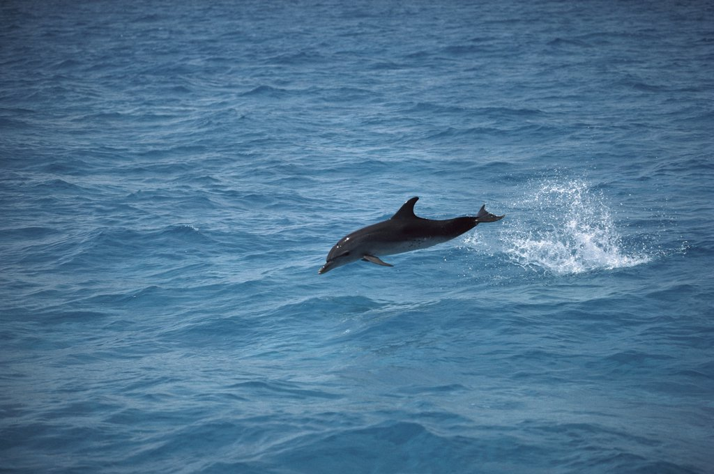 Atlantic Spotted Dolphin (Stenella frontalis) leaping from water, Little Bahama Bank, Bahamas, Caribbean : Stock Photo