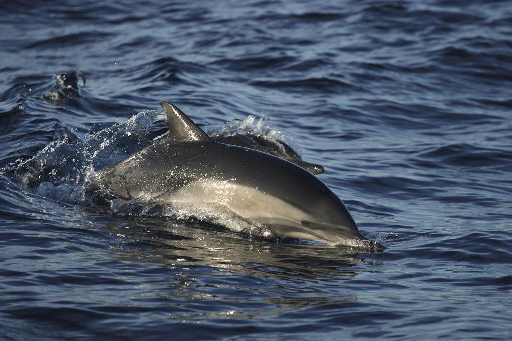 Short-beaked Common Dolphin (Delphinus delphis delphis) surfacing, Sea of Cortez, Baja California, Mexico : Stock Photo