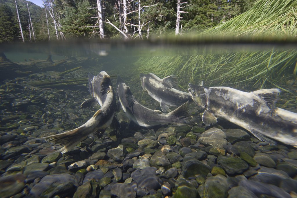 Stock Photo: 4201-38621 Pink Salmon (Oncorhynchus gorbuscha) swimming upstream during spawning season, Prince William Sound, Alaska