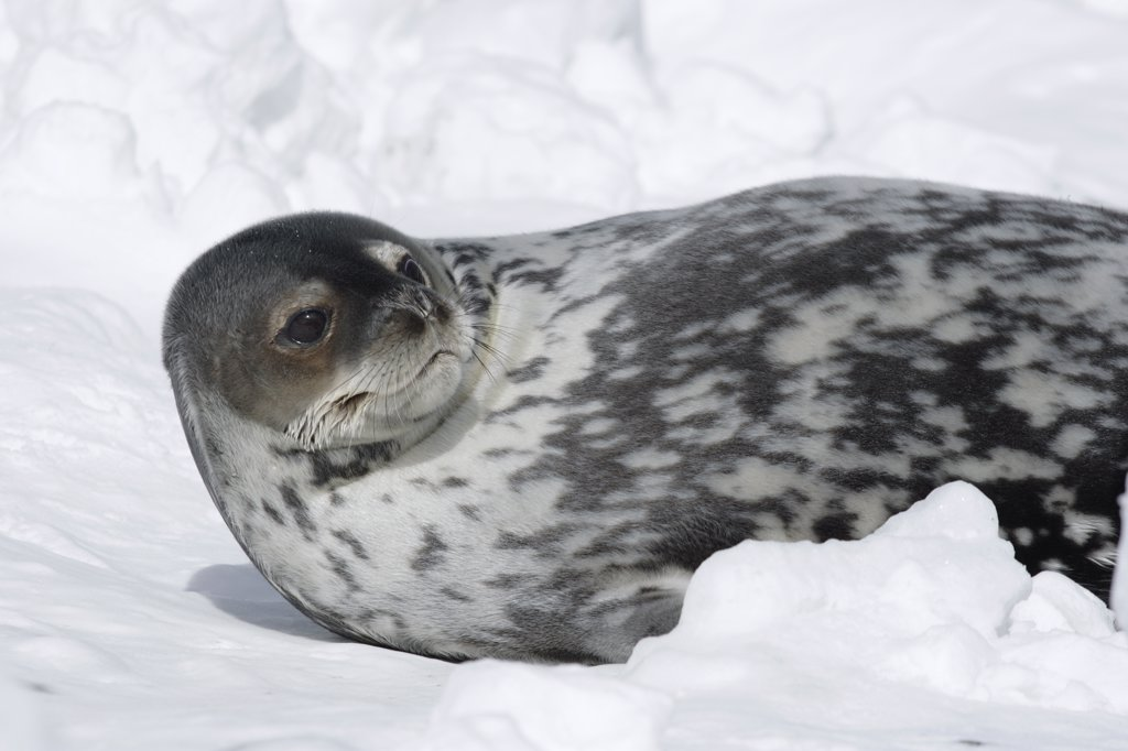 Stock Photo: 4201-38665 Weddell Seal (Leptonychotes weddellii) resting on ice, Antarctic Peninsula, Antarctica