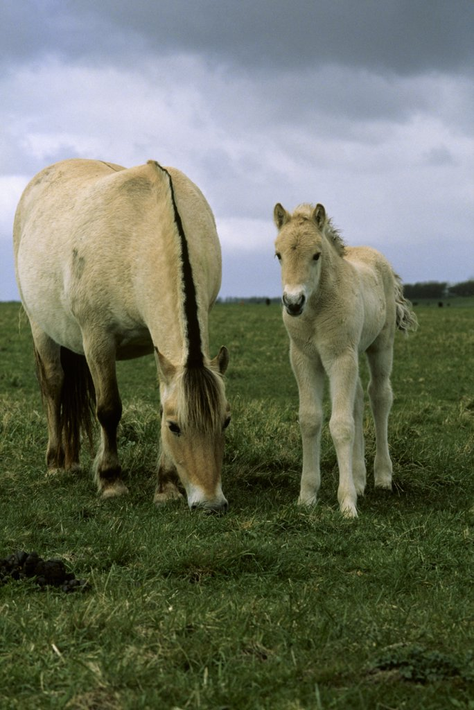 Stock Photo: 4201-39063 Domestic Horse (Equus caballus) adult and foal grazing in pasture, Europe
