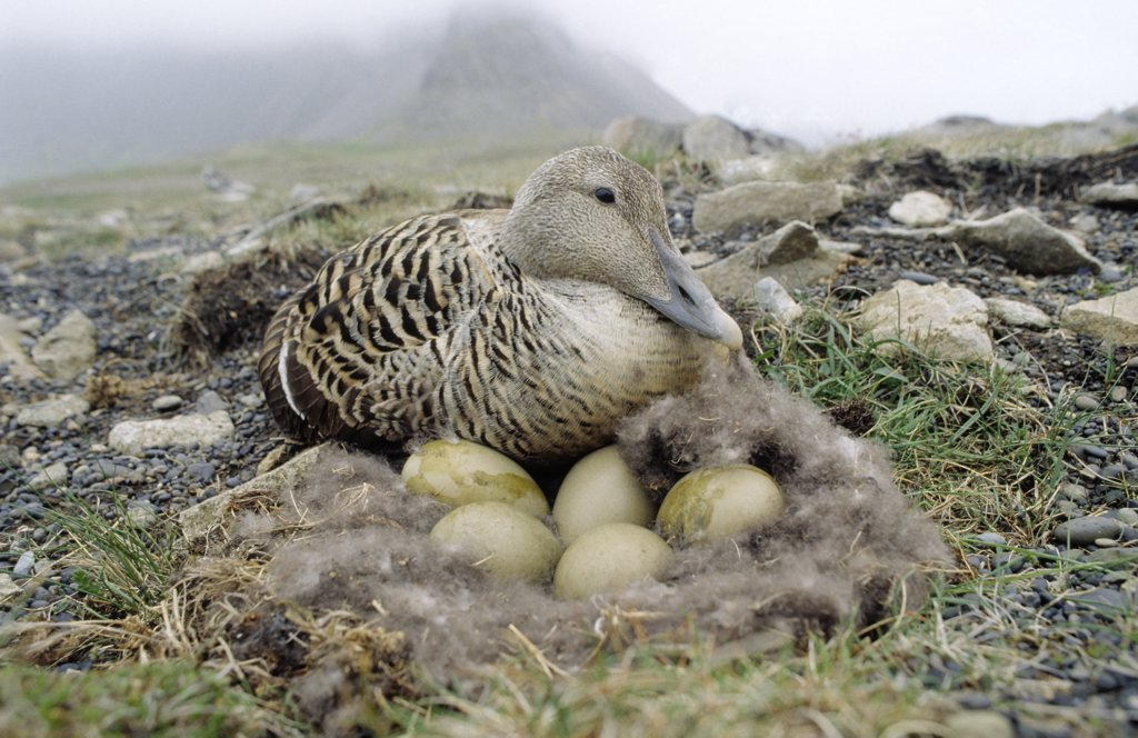 Stock Photo: 4201-39116 Common Eider (Somateria mollissima) adult female at down nest with eggs, Europe