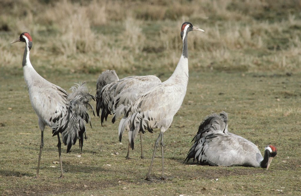 Stock Photo: 4201-39121 Common Crane (Grus grus) group, Europe