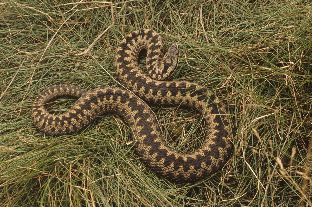 Common European Adder (Vipera berus) on grass, western Europe : Stock Photo