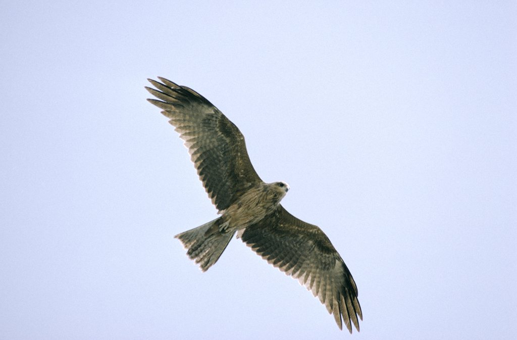 Black Kite (Milvus migrans) adult flying overhead, Europe : Stock Photo