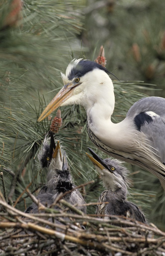 Grey Heron (Ardea cinerea) parent at nest with chicks, Europe : Stock Photo