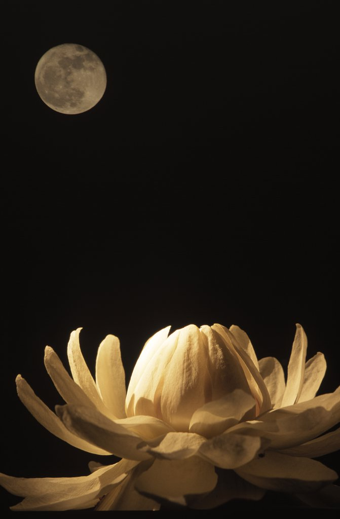 Stock Photo: 4201-39486 Amazon Water Lily (Victoria amazonica) at night under a full moon, Guyana