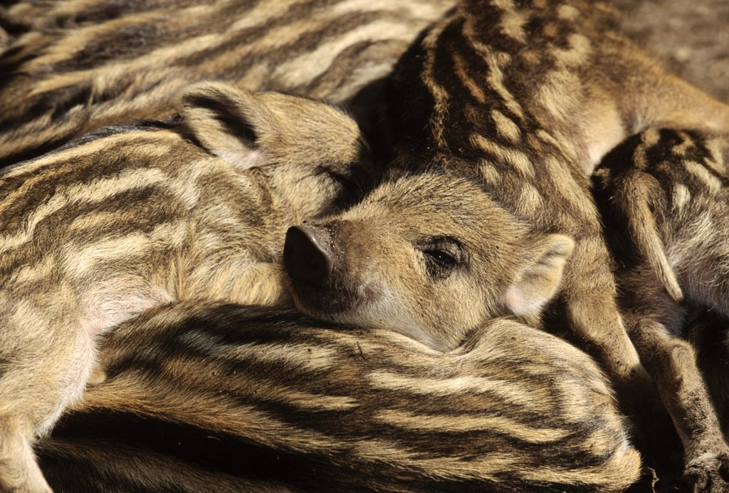 Wild Boar (Sus scrofa) piglets sleeping, Europe : Stock Photo