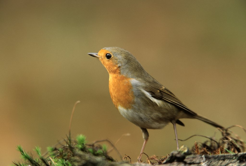 Stock Photo: 4201-40320 European Robin (Erithacus rubecula) portrait, Europe