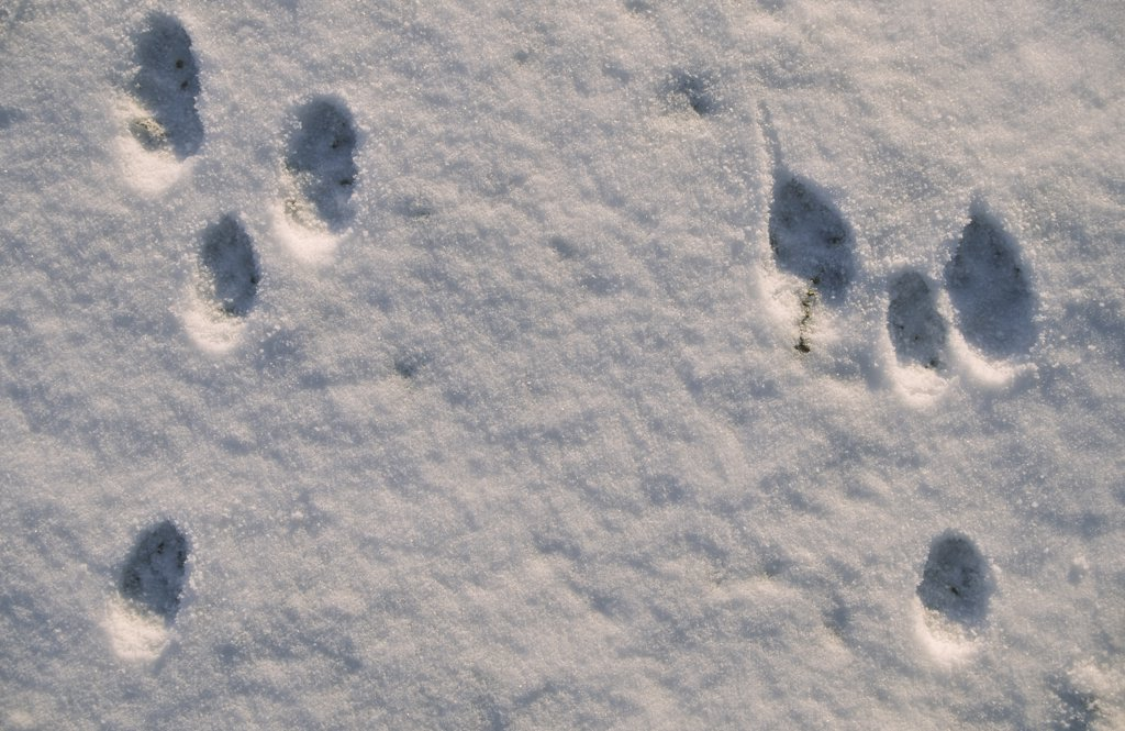 Stock Photo: 4201-40648 European Hare (Lepus europaeus) tracks in the snow, Europe