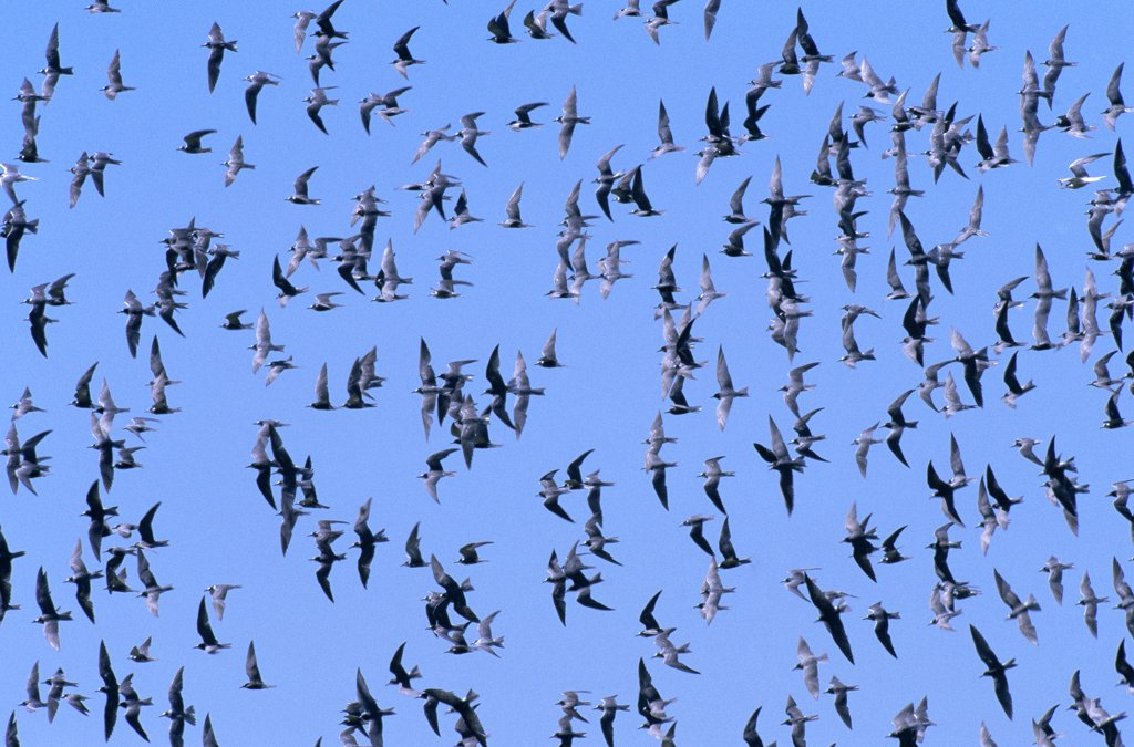 Black Tern (Chlidonias niger) flock flying, Europe : Stock Photo