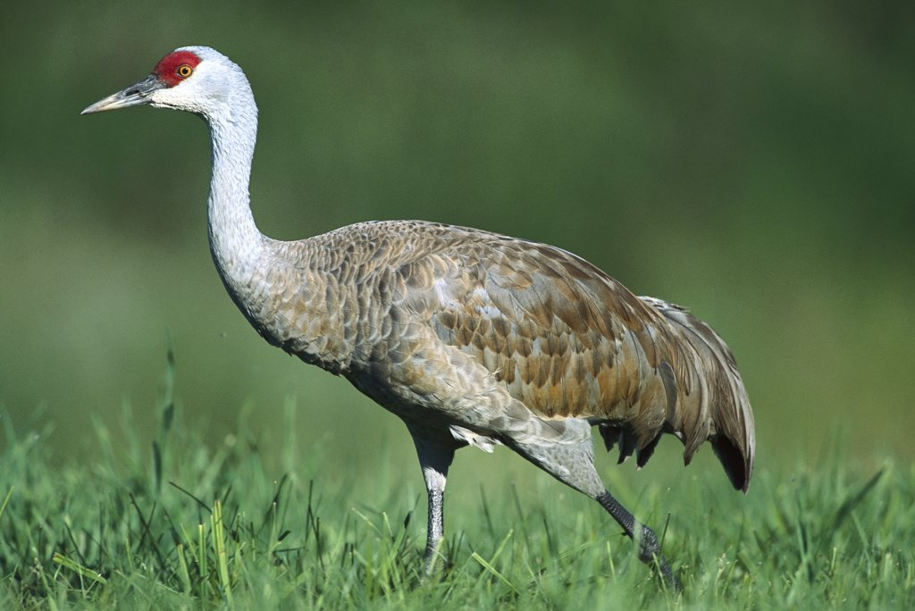 Sandhill Crane (Grus canadensis) adult walking in meadow where it feeds on amphibians, reptiles, and insects, summer, south central Alaska : Stock Photo
