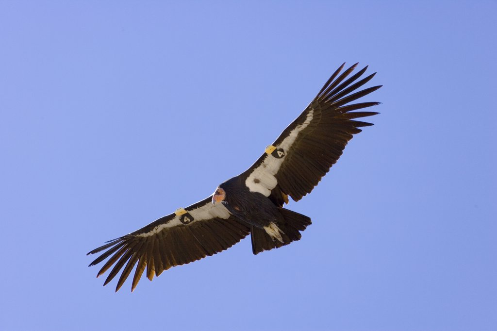 California Condor (Gymnogyps californianus) adult flying, critically endangered, bred in captivity, later released wearing radio transmitter, near Zion National Park, Utah : Stock Photo