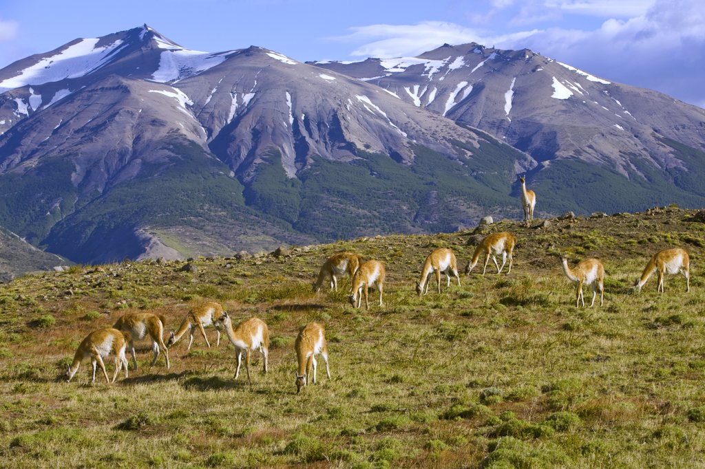 Stock Photo: 4201-41679 Guanaco (Lama guanicoe) grazing on grassy slope with dominant male keeping watch of its herd, Torres del Paine National Park, Chile