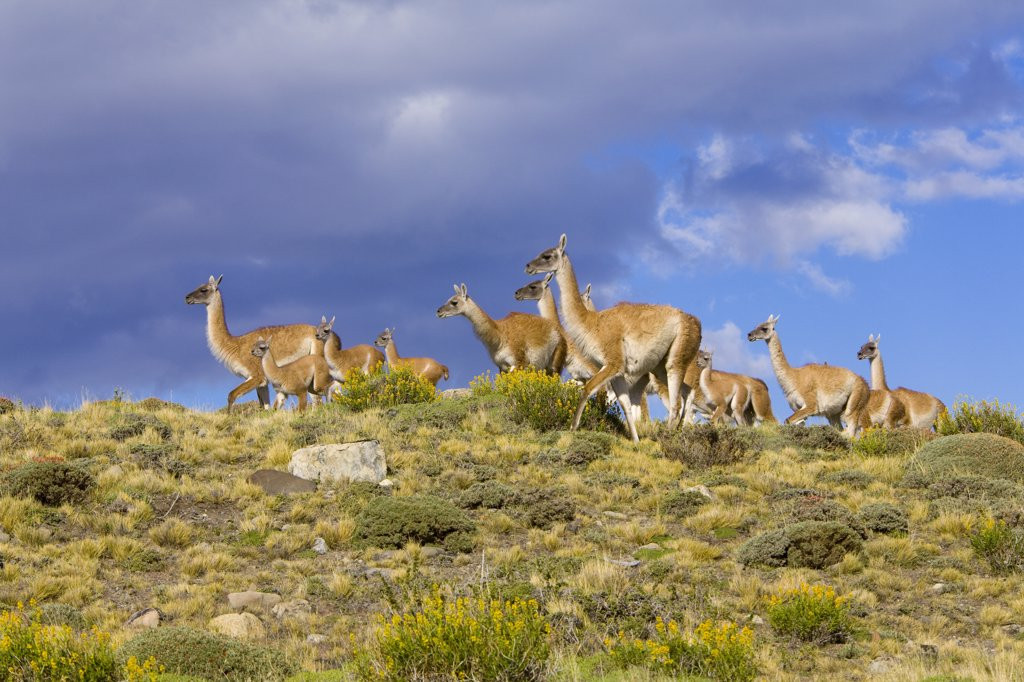 Guanaco (Lama guanicoe) calves and mothers on grassy slope, Torres del Paine National Park, Chile : Stock Photo