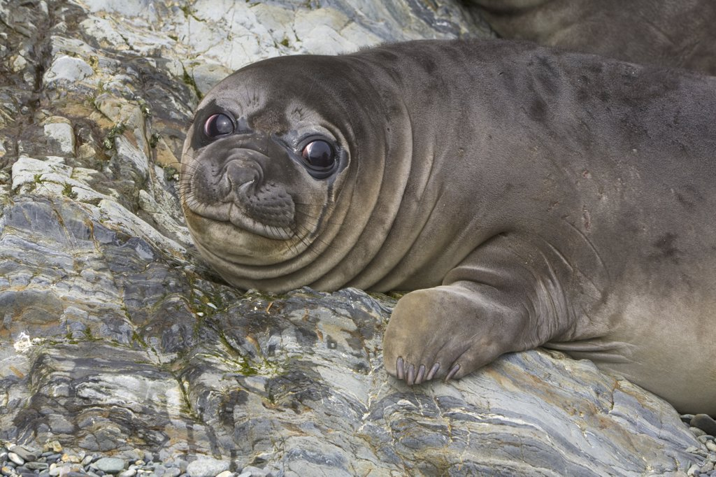 Southern Elephant Seal (Mirounga leonina) weaner pup, Wirik Bay, South Georgia Island : Stock Photo