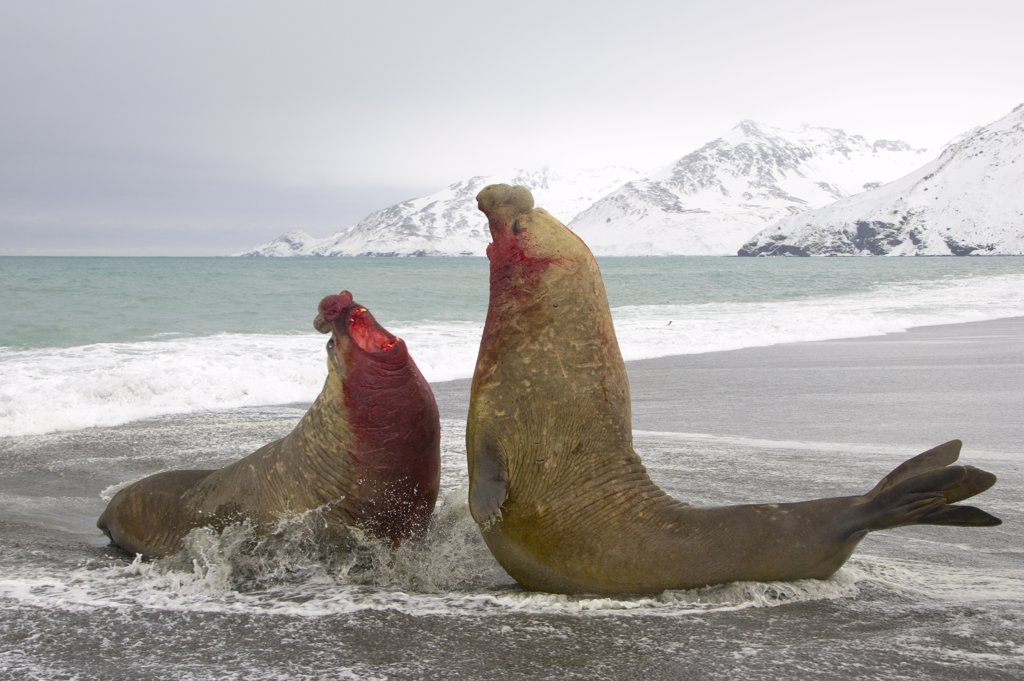 Southern Elephant Seal (Mirounga leonina) bulls fighting for access to females, St. Andrews Bay, South Georgia Island : Stock Photo