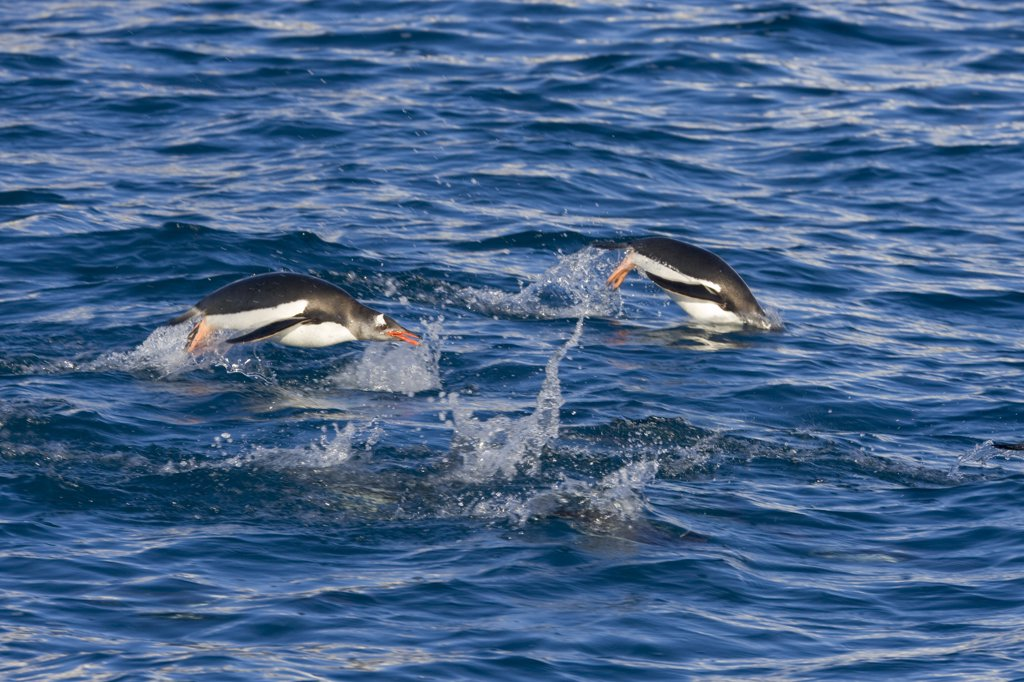Gentoo Penguin (Pygoscelis papua) pair porpoising, South Georgia Island : Stock Photo