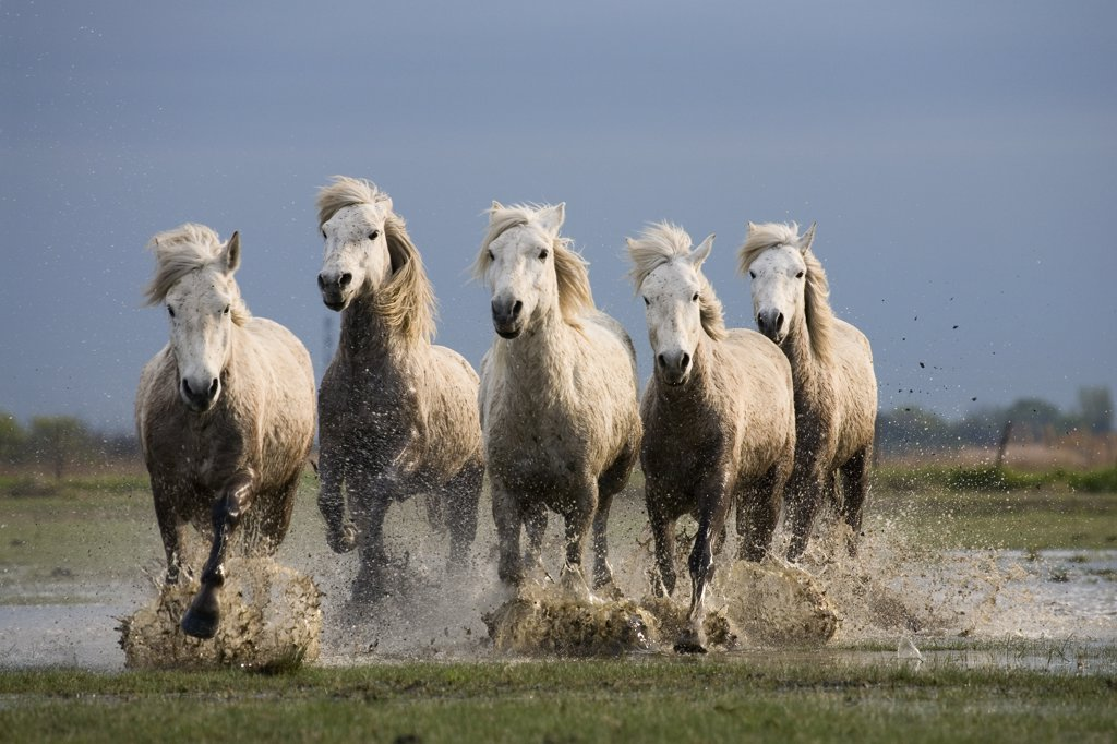 Camargue Horse (Equus caballus) group running in water, Camargue, France : Stock Photo