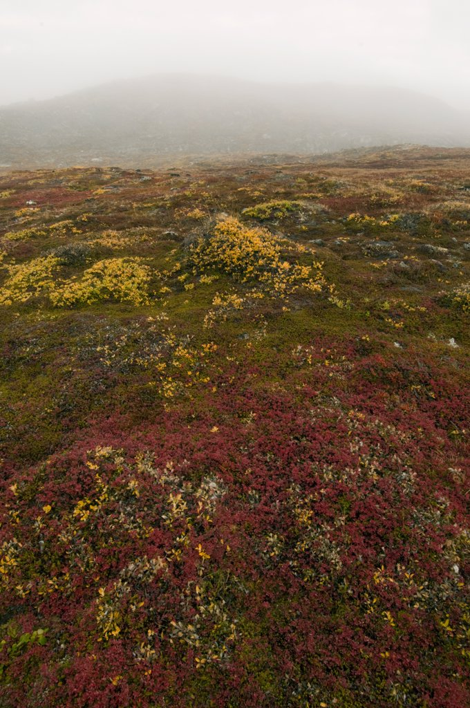 Fall color on tundra, Greenland : Stock Photo