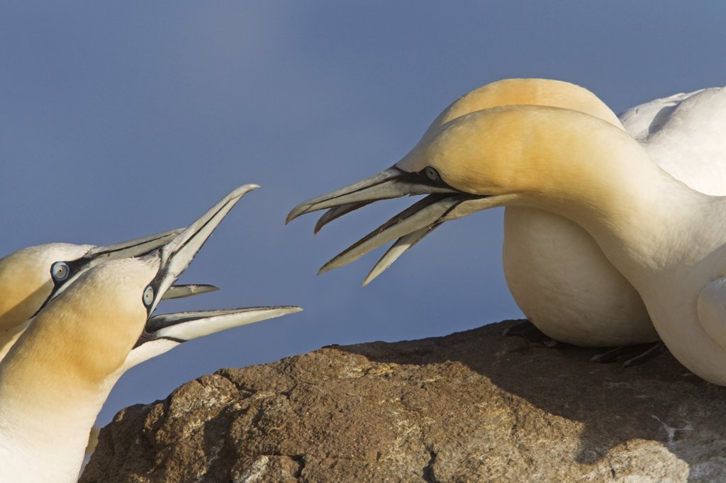 Stock Photo: 4201-42550 Northern Gannet (Morus bassanus) pairs disputing nesting territory, Great Saltee Island, Ireland