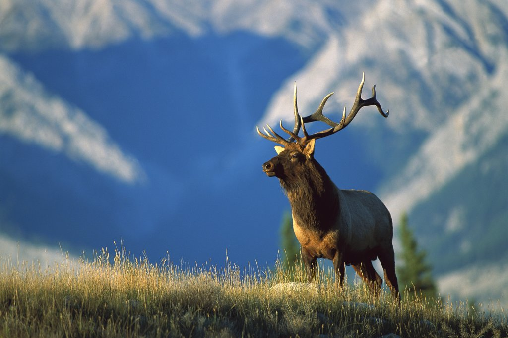 Elk (Cervus elaphus) large bull standing alert in meadow with mountains behind : Stock Photo