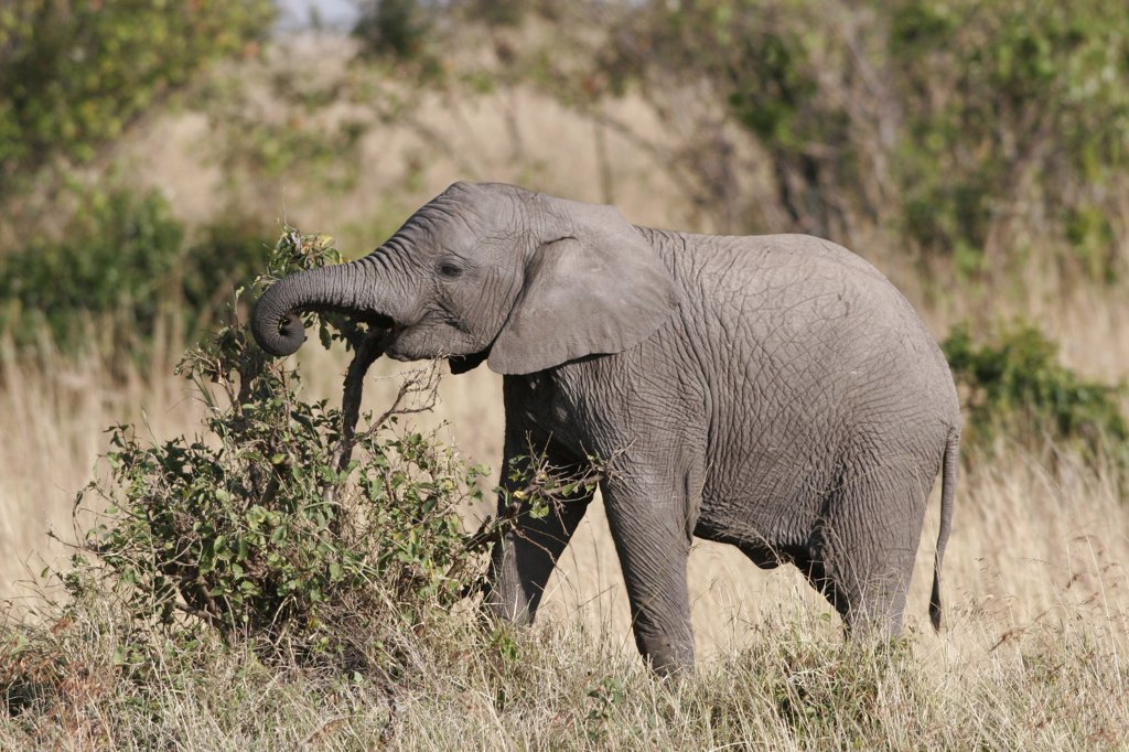 Stock Photo: 4201-42792 African Elephant (Loxodonta africana) calf feeding on bush, Masai Mara, Kenya