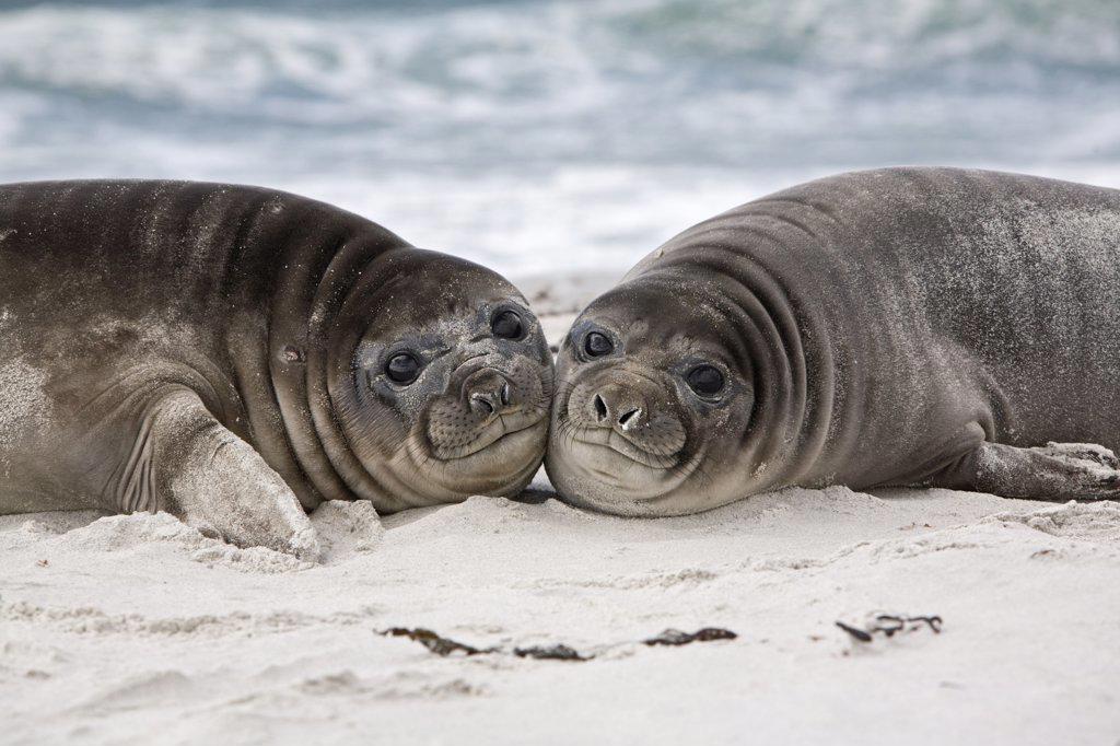 Stock Photo: 4201-42916 Southern Elephant Seal (Mirounga leonina) pups on beach, Sea Lion Island, Falkland Islands