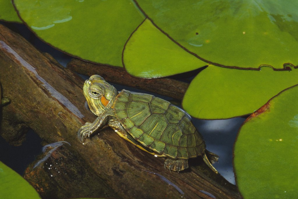 Stock Photo: 4201-43396 Red-eared Slider (Trachemys scripta elegans) immature juvenile, North America