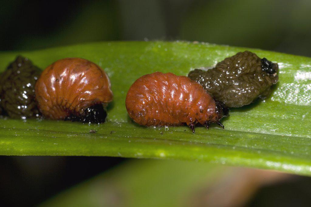 Stock Photo: 4201-43638 Scarlet Lily Beetle (Lilioceris lilii) larvae on a leaf, Belgium