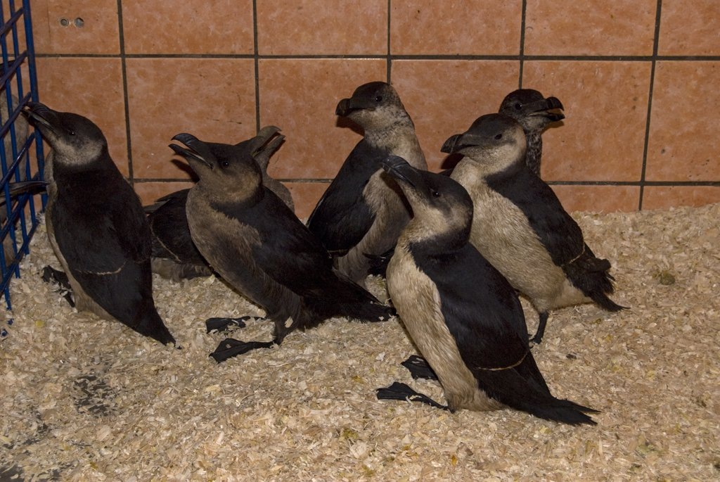 Razorbill (Alca torda) group are victims of oil polution, Moddergat, Netherlands : Stock Photo