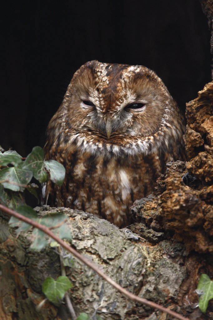 Stock Photo: 4201-43923 Tawny Owl (Strix aluco), Utrecht, Netherlands