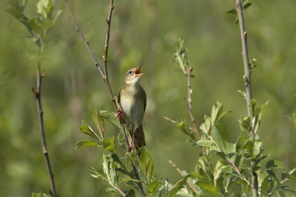 Grasshopper Warbler (Locustella naevia) singing, Utrecht, Netherlands : Stock Photo